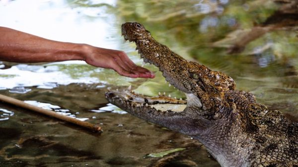 énorme crocodile en floride bfmtv