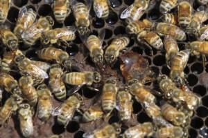 Hombre-de-Florida-ingresado-en-hospital-tras-ser-picado-por-enjambre-abejas-650x453