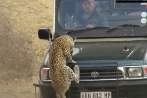 leopardo ataque