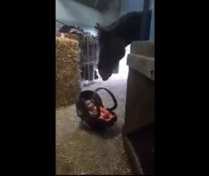VIDEO: Asi reaccionó este caballo cuando le pusieron un bebé enfrente