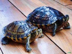 Alertan sobre el peligro latente de tener tortugas como mascotas