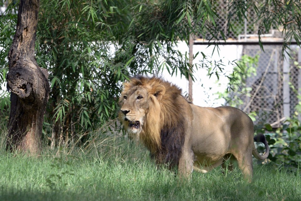 INDIA-WILDLFE-ANIMAL-LION